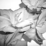 Gladioli Flowers